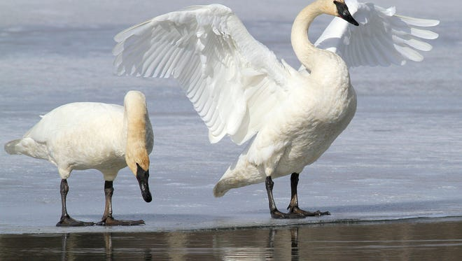 FILE - In this March 25, 2015, file photo, a pair of trumpeter swans stretch and preen on ice along a channel of open water at Westchester Lagoon in Anchorage, Alaska. No state currently has hunting seasons for trumpeter swans, which have made a comeback in recent decades thanks to efforts to reintroduce them. Now the U.S. Fish and Wildlife Service is working on a plan aimed at letting hunters shoot them legally in certain states that allow the hunting of tundra swans. (AP Photo/Dan Joling, File)