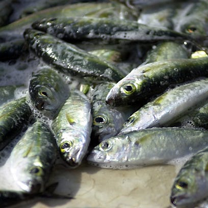 These atulai, Chamorro for big-eye scad mackerel, can be harvested for a limited time on Guam under certain conditions.