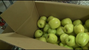 These apples were donated to Second Harvest.