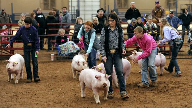 Thomas Metthe/Reporter-News   Contestants walk their pigs around the arena during the Taylor County Livestock Show on Friday, Jan. 22, 2016, at the Taylor County Expo Center.