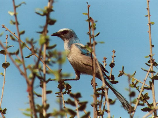 Through the years the scrub jay has emerged as a favorite on the nature tours.