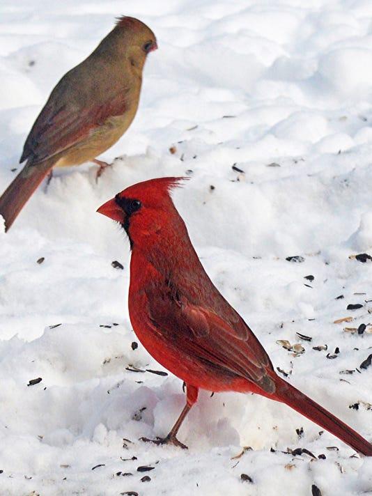 Northern cardinals are regulars at dawn, dusk