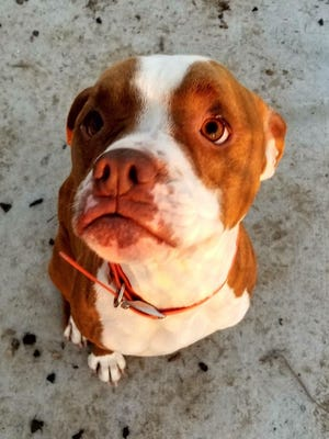 A Boxer named Ace was briefly missing after the Poweshiek Animal League Shelter in Grinnell was broken into in March 2018.