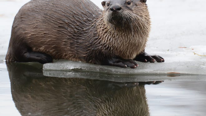 This river otter goes fishing on the ice of early spring in Iowa at George Wyth State Park near Waterloo.