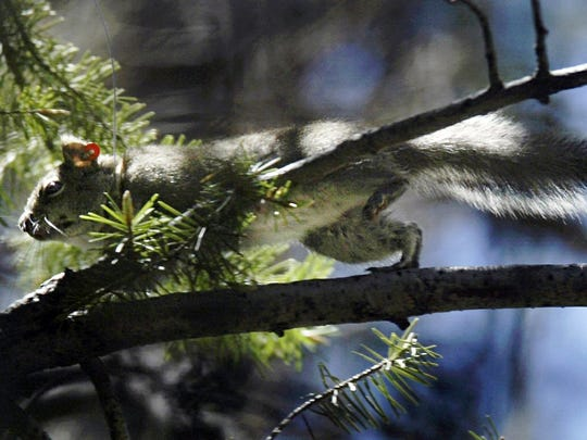 In this May 24, 2004 file photo, a Mount Graham red squirrel darts through trees on Mount Graham near Safford.