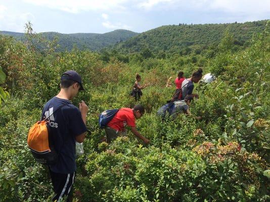 Blueberry picking1