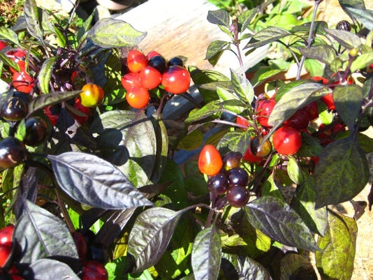 The photo shows a Black Pearl annual pepper.