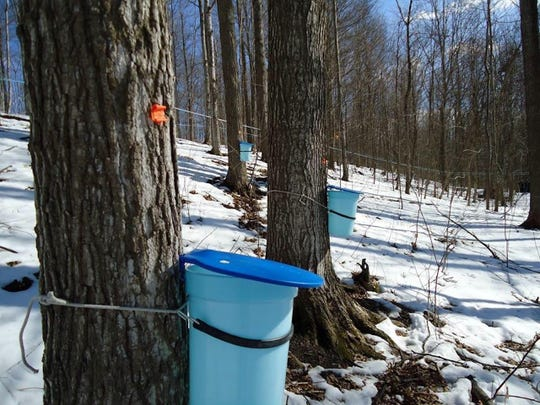 Plastic buckets attached to the trees at Wake Robin.