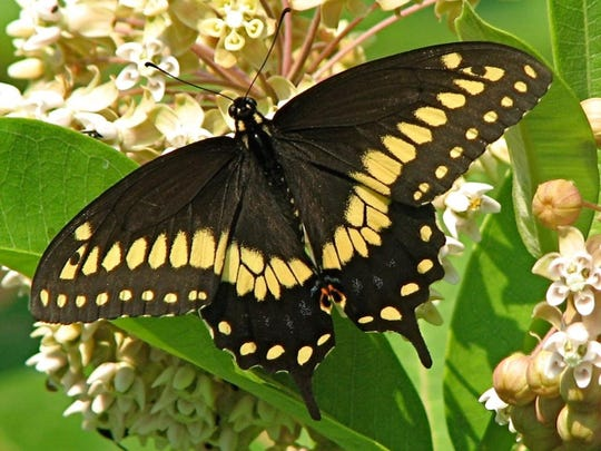 Learn about New Jersey's official State Butterfly, the Black Swallowtail. This male Black Swallowtail is nectaring on Common Milkweed.