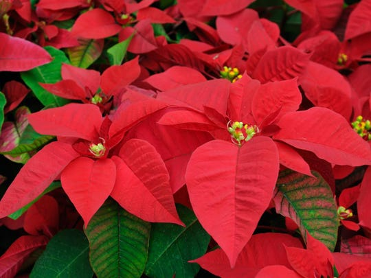 Poinsettias should retain their beauty for weeks. Some