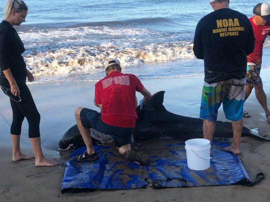 Workers tend to a stranded pygmy killer whale in Kihei, Hawaii. Wildlife officials in Hawaii on Tuesday euthanized two emaciated, sick dolphins that were stranded on a Maui beach less than a month after another mass stranding in the same area.
