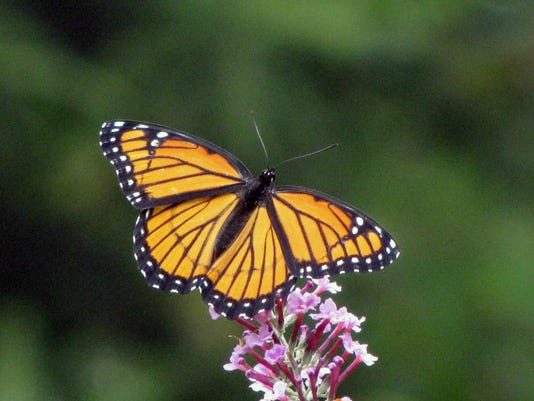 Butterfly Viceroy, mimics the distasteful Monarch butterfly Doug Johnston.jpg