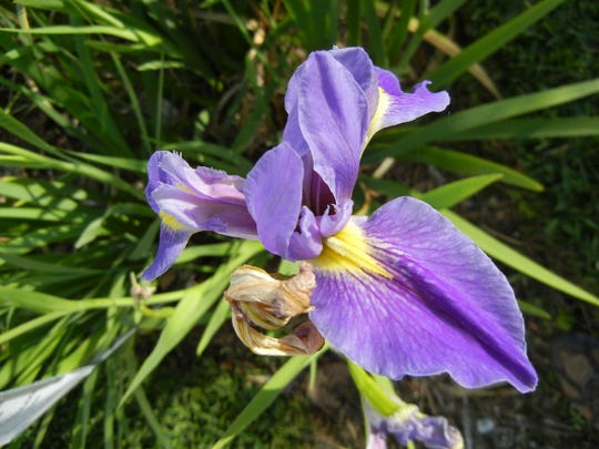The spring blooming, blue flag iris thrives in moist soil and is an excellent rain garden plant option.