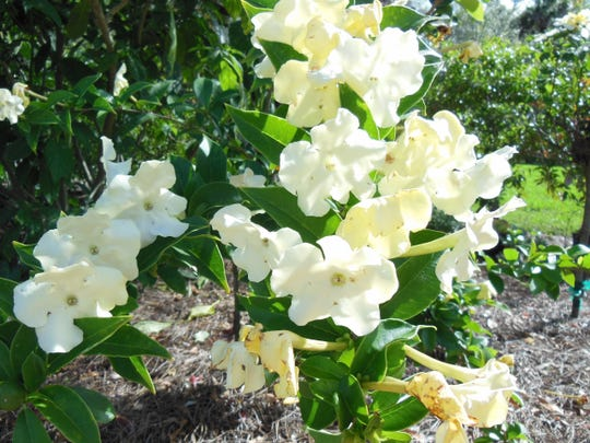 Brunfelsia 'lady of the night' has a far-reaching, lovely fragrance in the evening.