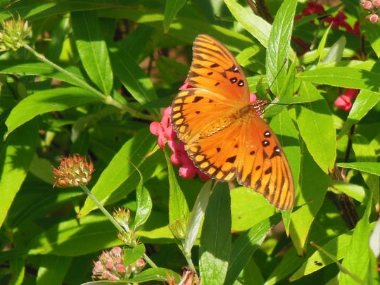 Butterflies are attracted to the winter blooms of the Panama rose.