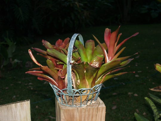 Bromeliads are perfect, even in a little basket