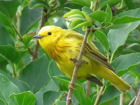 1280px-Yellow_warbler.jpg