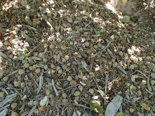 almond on ground from ground squirrel.JPG