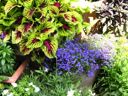 Coleus showing out in a container garden mixture.