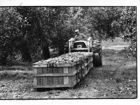 Bins of apples are being picked up by tractor to be
