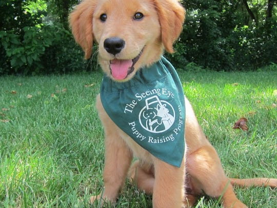 Fletcher, a pup in training for The Seeing Eye.