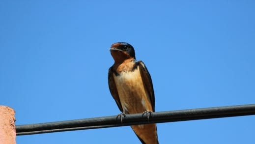 The Barn Swallow (Hirundo rustica) is one of eight species of the swallow family that inhabits the state of Texas.