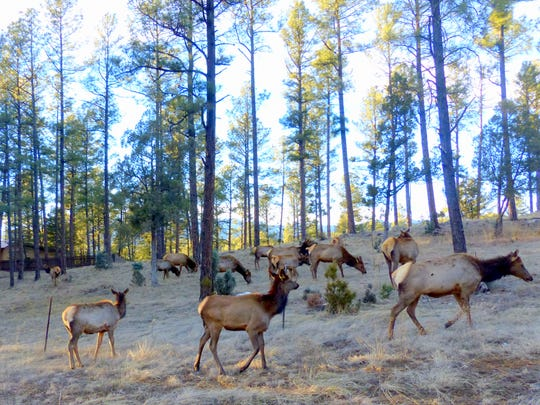 The sight of this elk herd on Hull Road stopped traffic.