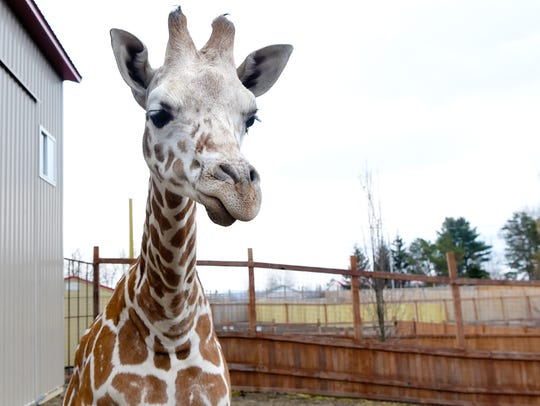 Tajiri, the giraffe baby of April and Oliver, celebrated his first birthday on April 15.