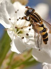A bee gathers pollen from one of thousands blossoms on a fruit tree along Brook Street this past spring. exas Parks and Wildlife Department invites everyone to participate in the state Pollinator BioBlitz by taking a picture of a pollinator and posting it online with the hashtag #TXPollinators.