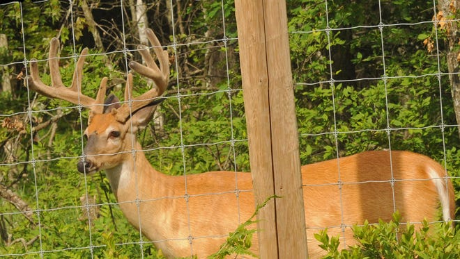 The Wisconsin DNR has done little in recent years to test wild deer living near CWD-infected deer farms in central and north-central counties.