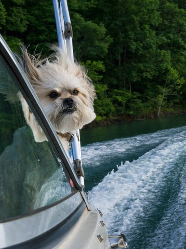 Moe enjoys an evening boat ride on Norris Lake on Wednesday, July 8, 2015. Moe's owners, Terri and Joe Stemple, are part-time residents of the floating home community at Norris Dam Marina.  (NEWS SENTINEL ARCHIVE)