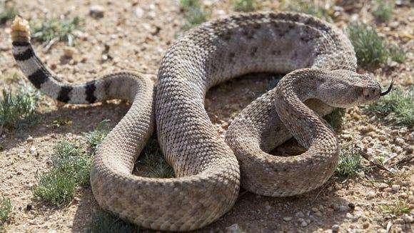 PNI rattle snakes  2/15/14 A  6-year-old male western diamondback rattle snake.  Cheryl Evans/The Arizona Republic