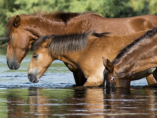 Tonto National Forest Wild Horses