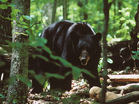 Bear hunting season in North Carolina's mountains runs Oct. 14-Nov. 23, 2019, and Dec. 16, 2019-Jan. 1, 2020.