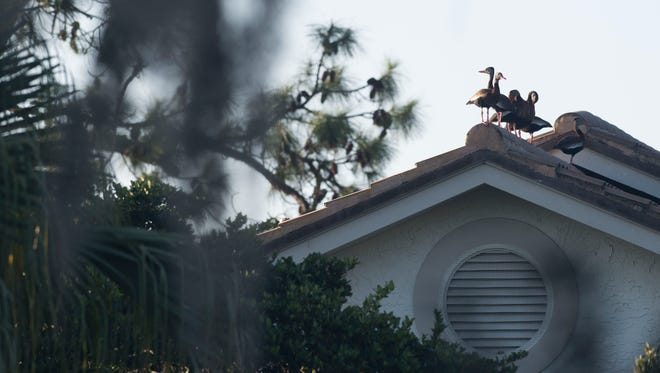 Ducks perch on top of a roof Wednesday at Harbour Ridge Yacht & Country Club north of Palm City in St. Lucie County. As part of their certification with Audubon International's Cooperative Sanctuary Program for golf courses, residents are educated of the importance of environmental projects.