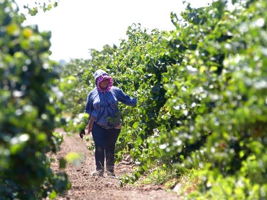 In this Aug. 17, 2016, file photo, a farm worker trims grape vines in a vineyard in Clarksburg, California.