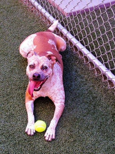 Ava is a fun-loving gal! She is a 1-year-old heeler