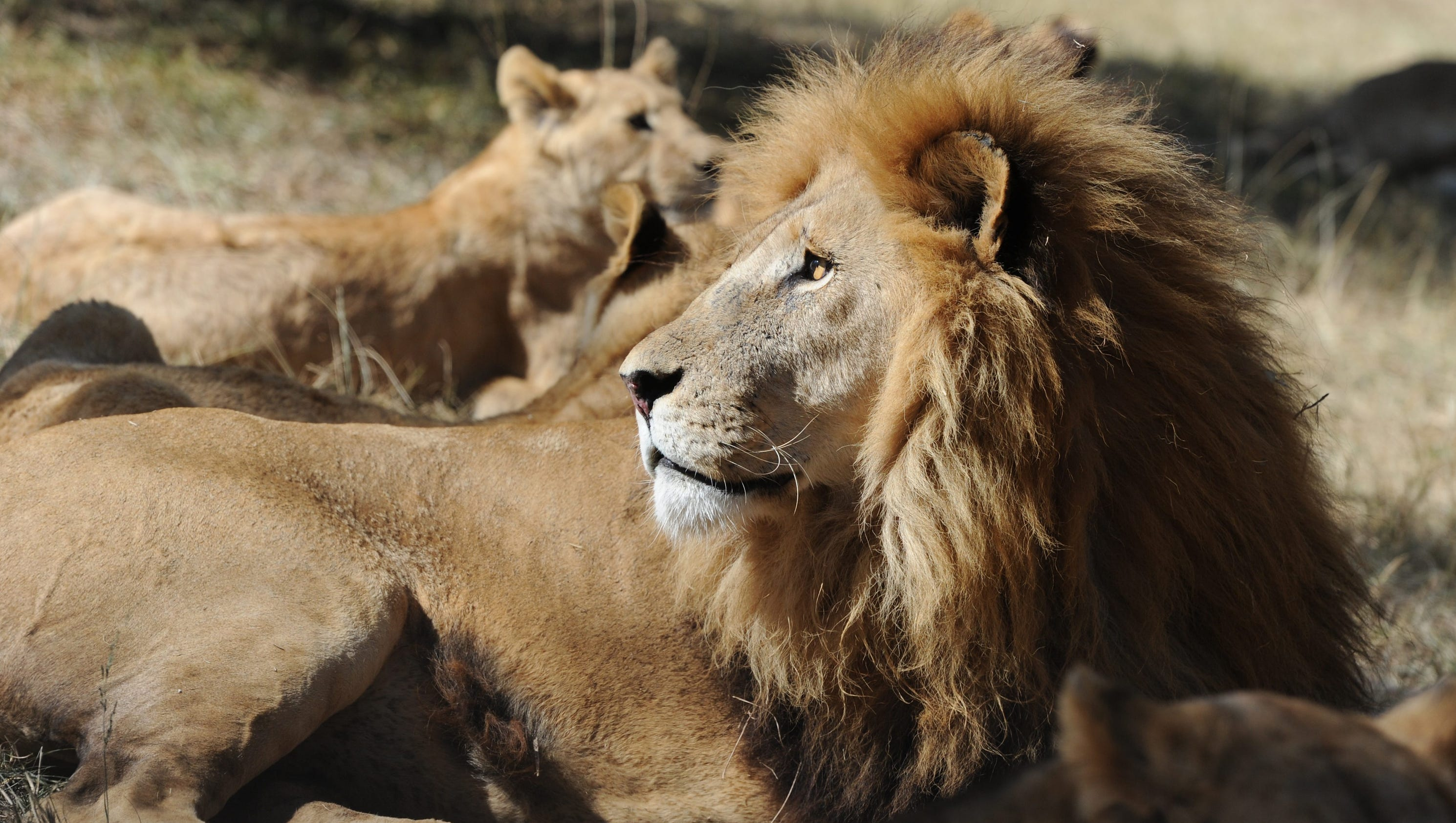 Tourist Mauled By Lion At African Park