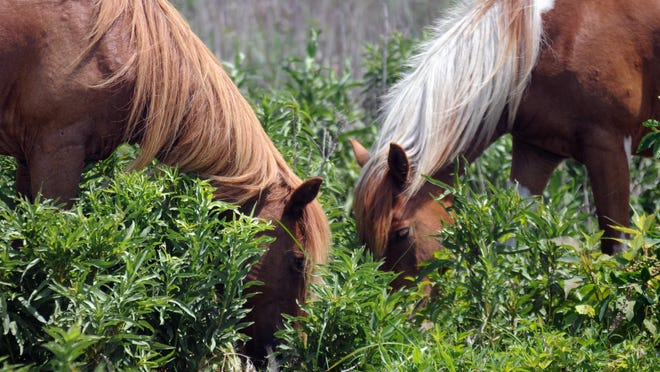 Two ponies graze near the beach at Assateague Island State Park.