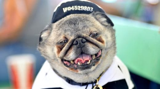 Grovie, a pug, is seen before the 2013 World's Ugliest Dog competition.