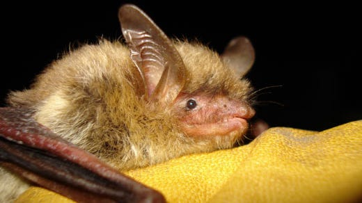 A northern long-eared bat