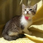 Tina, a beautiful gray and white tabby female kitten, is house trained and good with other cats and dogs.