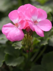 A geranium is ready to be purchased Wednesday at Memorial