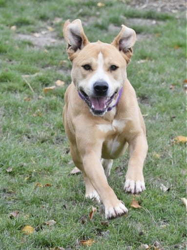 Mo is a 4-year-old male tan and white American Pit