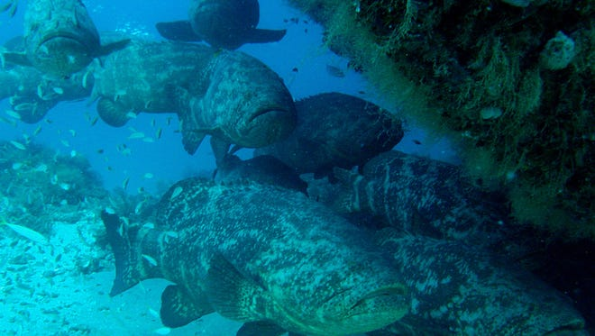 Grouper troopers: Some serious biomass of 250-pound Goliath groupers gather each October at the bow of the Esso Bonaire shipwreck offshore of the Martin-Palm Beach County line. These protected apex predators gather on area reefs each fall to spawn.