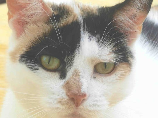 Rockabell is a gorgeous calico stray, very affectionate. Also gets along with the other cats. She'll make a great lap cat. Associated Humane Societies, Tinton Falls: 732-922-0100