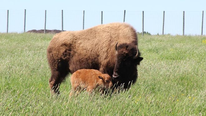 Bolt the bison gave birth on Saturday at the Wildwood Zoo in Marshfield.