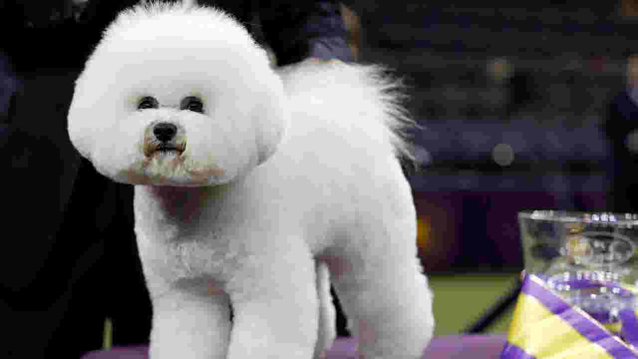 Louisville dog wins herding group title at Westminster Dog Show