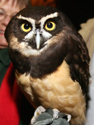 One of the Salisbury Zoo's spectacled owls is pictured in this file photo.