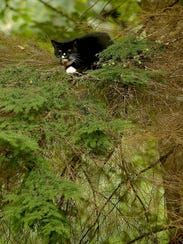 Sinatra the tuxedo cat became stuck in a dying fir